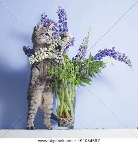 Tabby Curious Cat Plays With Lupines In Vase