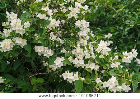 Jasmine Bush With White Flowers And Green Leaves In Full Blossom At Summer Park, Floral Background.