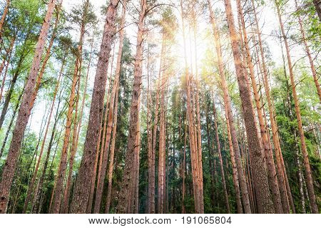 Wild pine forest on a summer day