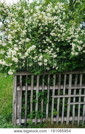Jasmine white flowers and green leaves on bush in full blossom behind wooden fence floral background. Beautiful jasmin flowers in bloom
