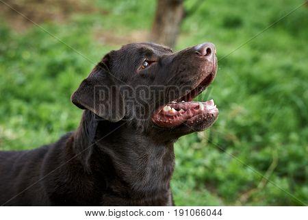 A dog labrador, a dog walks, a labrador with an open mouth.