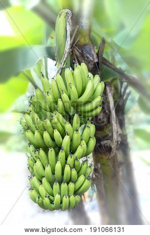 Bunch of unripe bananas hanging from a branch of a tree on a farm