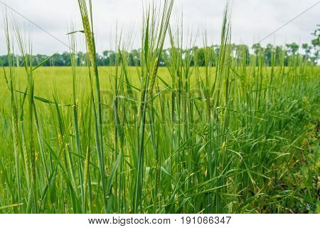 Green Wheat Field, Beautiful Sky With Clouds, Free Space For Text. Sunny Agriculture Landscape, Back