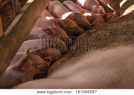Piggy eating milk farm close up .