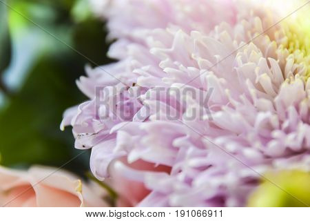 Abstract Floral Background Aster Lilac Pink Color