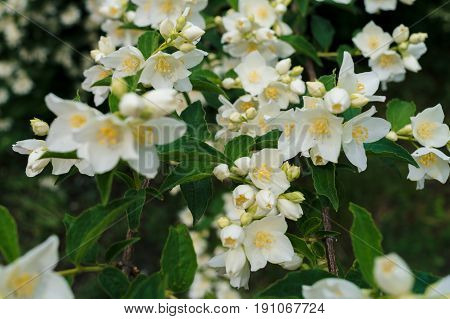Jasmine White Flowers And Green Leaves On Bush In Full Blossom At Summer Park, Floral Background. Be