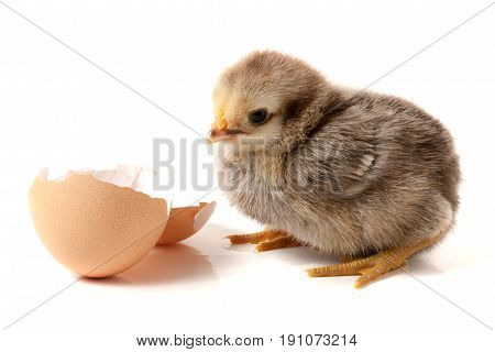 Cute little chicken with eggshell isolated on white background.