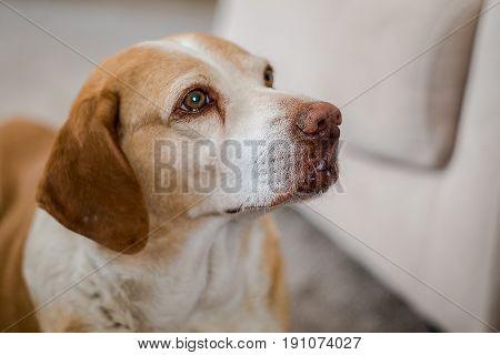 Close Up Of A Brown Mixed Dog's Face