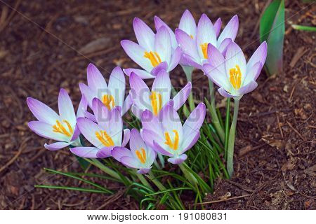 Woodland Crocus Flowers