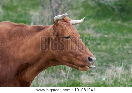 Snout brown cow closeup n a background of green grass