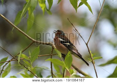 little bird sit in summer verdure and sing song in warm sunny day