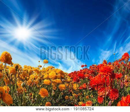 Strong wind drives the cirrus clouds. The bright southern sun illuminates the fields of red garden buttercups- ranunculus. Concept of rural  and recreational tourism