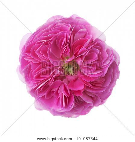 Pink rose isolated on white background.  Tea rose