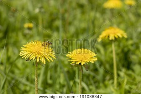 Honey bee (Apis mellifera) collects the nectar from the yellow flowers of taraxacum officinalis on a sunny spring day.