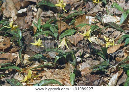 Dimpled trout lily (Erythronium umbilicatum). flowers in natural habitat