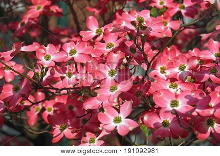 Flowering Dogwood In Blossom