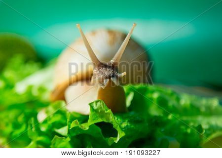 Home snail Achatina on green salad. Macro.