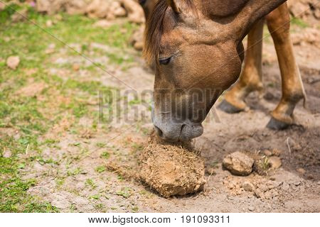 Horse is eating roots in the ground