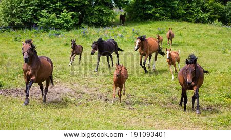 The foals with its mothers on the green meadow in summer