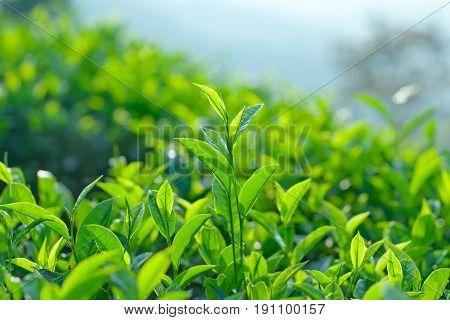 Green Tea Close Up