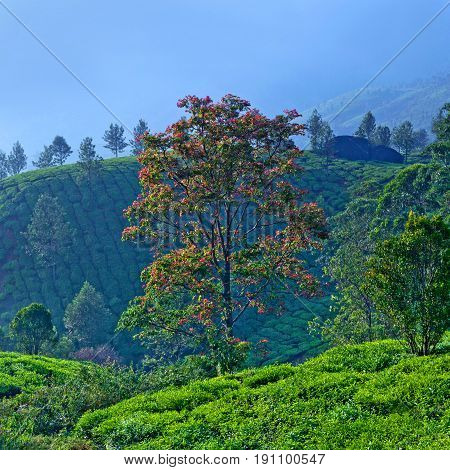 Blossoming tree on tea plantations in Munnar, Kerala, South India. Munnar is situated at around 1600 metres above sea level in the Western Ghats range of mountains.