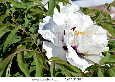 White flower of Paeonia rockii. Horizontal image