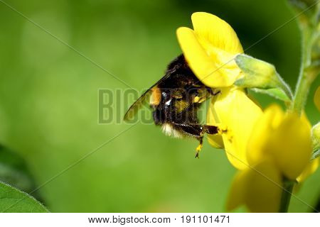 Bumblebee (Bombus lucorum) on yellow flower (Lathyrus davidii). Green background with room for text.