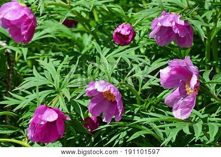 Paeonia anomala, pink peony flowers with green leaves.