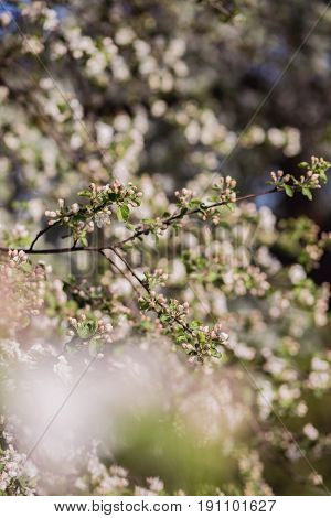 Spring blossom background. Blossom tree. Spring print. Apple tree branch. Apple blossom