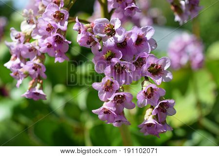 Flowers of Bergenia crassifolia, also known as Korean elephant-ear, badan, Siberian or Mongolian tea, leather or heartleaf bergenia and elephant's ears.