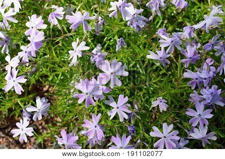 Phlox subulata, also known as creeping, moss or mountain phlox. Top view image