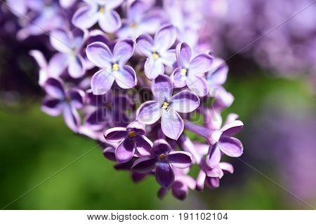 Close up of Syringa vulgaris flowers. Horizontal image