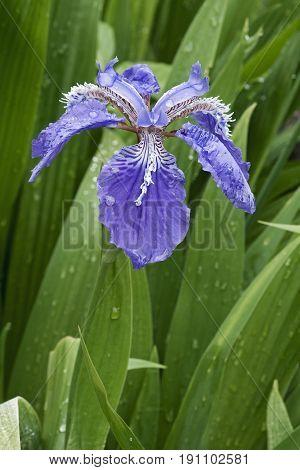 Roof iris (Iris tectorum). Called Japanese roof iris and Wall iris also