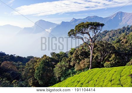 Lone tree over tea plantations in Munnar, Kerala, South India. It is situated at around 1600 meters above sea level in the Western Ghats range of mountains.