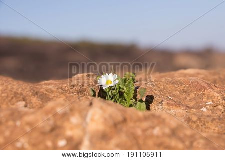 Single White Yellow Daisy On Rocky Landscape.