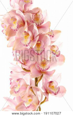 bright orchid; whole flowering spike