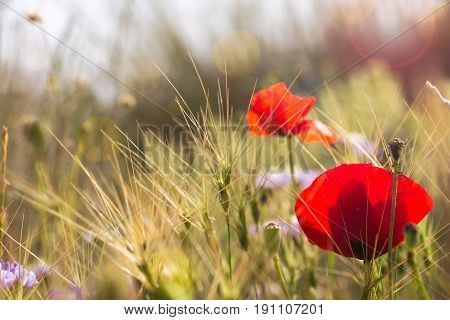Summer Time Background With Poppy Wildflowers On Field.