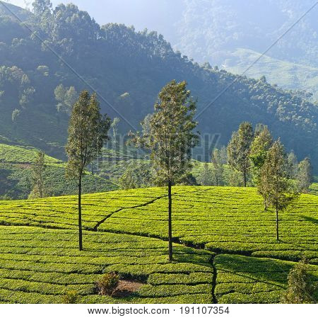 Panorama Of Tea Plantation In Kerala, South India