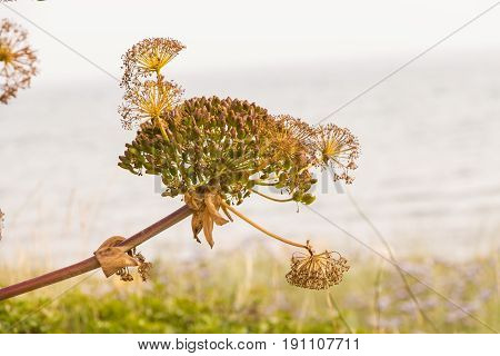 Giant fennel flowers/ seeds closeup background .