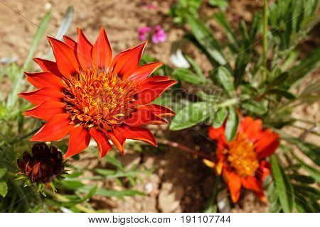 Deep red gazania flower open in full sun growing in a flower bed