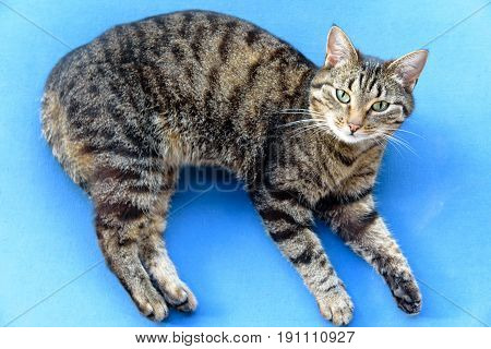 Portrait Of Green-eyed Cat. A Tabby Cat Lies On Its Side, Looks