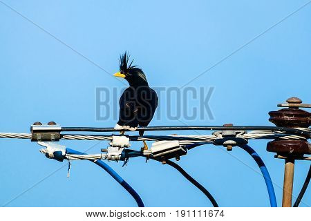 Starlings bird or White-vented Myna or Acridotheres grandis on the wire with blue sky