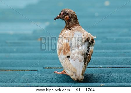 An ill injured or sick pigeon on the green roof