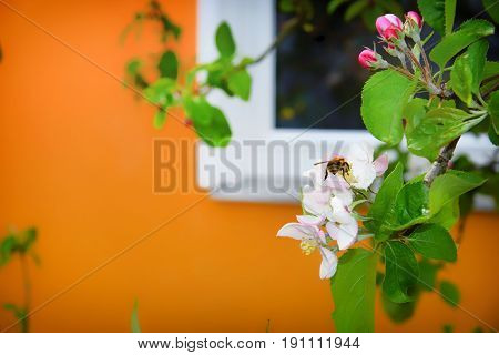 Blurred Background With Spring White Blossoming