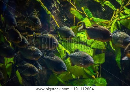 Tropical Fish Piranha With Algae In Blue Water. Beautiful Background Of The Underwater World