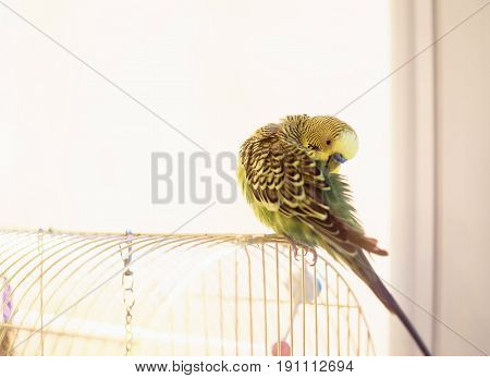 Budgerigar On The Bird Cage. Funny Green Budgie