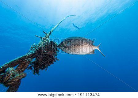 Java Rabbitfish (siganus Javus) Fish