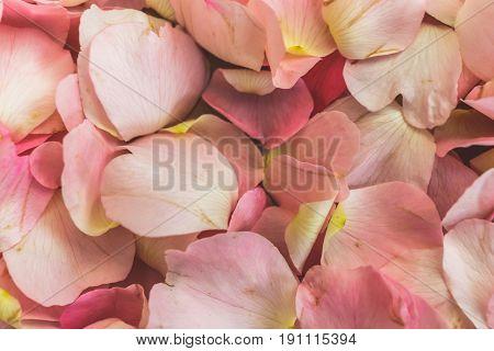 Pink Petals of wild rose flowers, dog-rose, briar, brier, canker-rose, eglantine, rose flowers background or pattern, macro photo