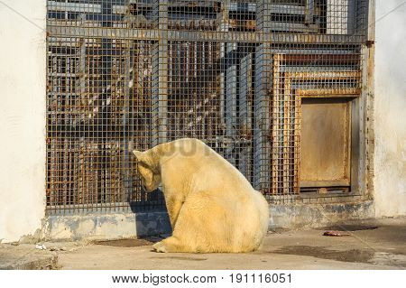 Back view of white polar bear sitting in zoo