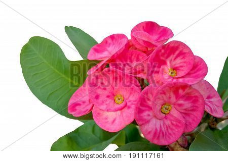 Close up of blooming pink crown of thorns flower ( Christ Thorn or Euphorbia milii Desmoul ) isolated on white background